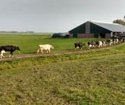 country-koeien-buiten